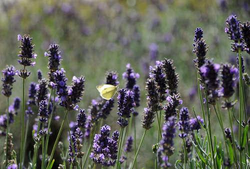 Vlinder geniet van bloeiende lupines