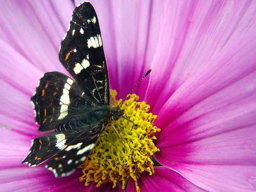 Vlinder op cosmea bloem